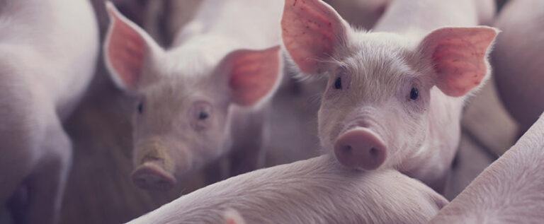 Abate de bovinos cai 10,8%, e o de suínos cresce 7% no terceiro tri