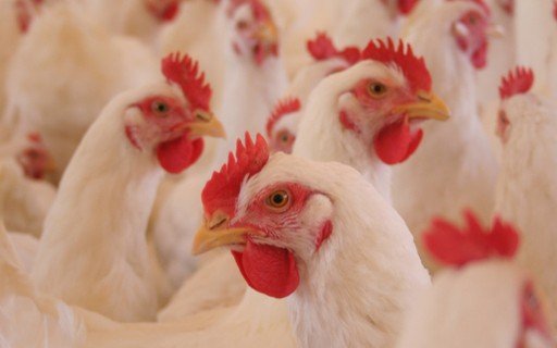 Preço do frango vivo se mantém firme e insumos caem