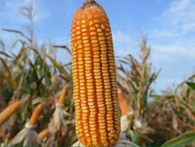 Programa de emergência para replantio de milho está disponível para agricultores atingidos pela estiagem