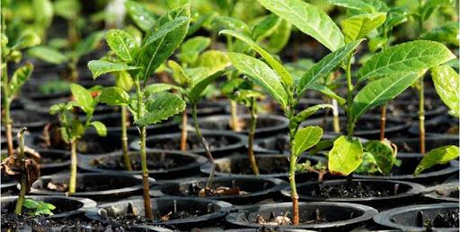 Decreto regulamenta lei do Sistema Nacional de Sementes e Mudas