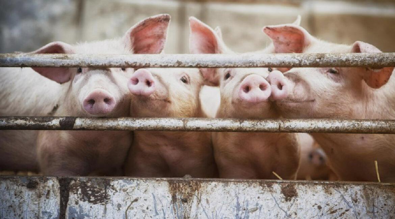 Santa Catarina amplia em 35% as exportações de carne suína em 2020