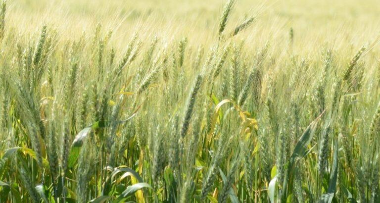 SC anuncia investimento de R$ 5 milhões para plantio de cereais de inverno