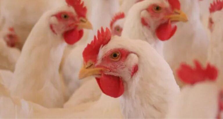 Exportações de carne de frango crescem 15,3% em abril no Brasil