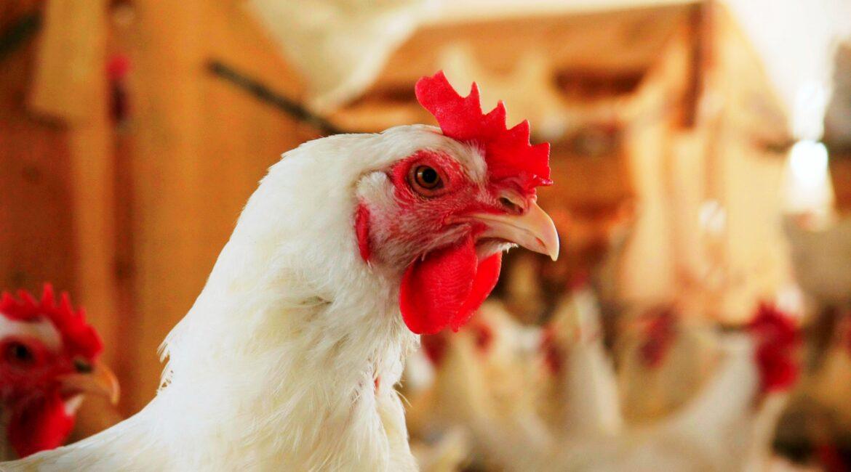Embrapa: Custos de produção de frangos aumentam quase 20% entre janeiro e maio