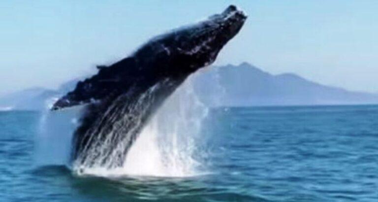 (VÍDEO) Salto de baleia jubarte é registrado na íntegra