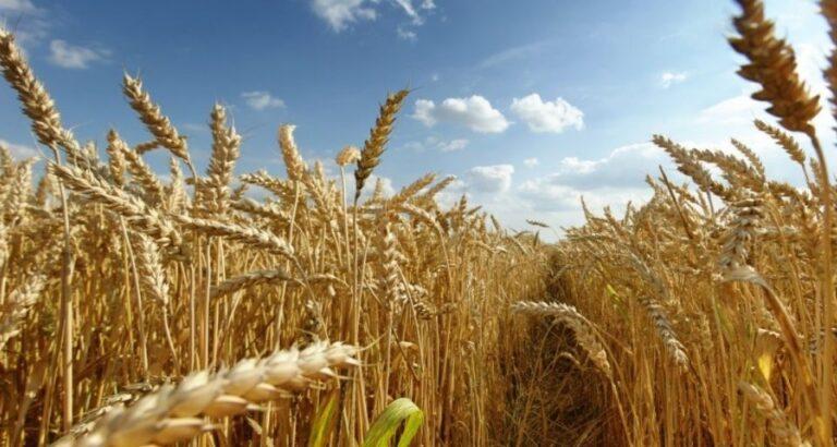 (ÁUDIO) Safra de trigo em SC deve atingir 290 mil toneladas na próxima colheita